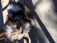 Biewer Yorkie Submitted Photo