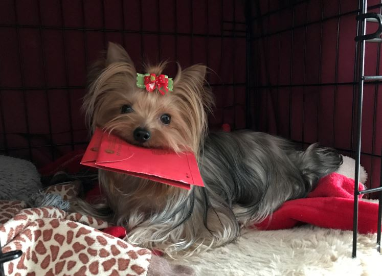Can A Yorkie Be A Working Dog Yorkiepassioncom