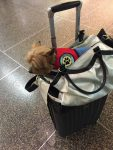 Emotional support Yorkie