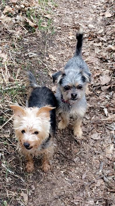 Yorkie and Yorkie/Shih Tzu mix