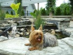 Yorkshire Terrier Breed Facts