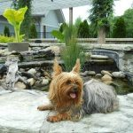 30 Interesting Yorkie Facts