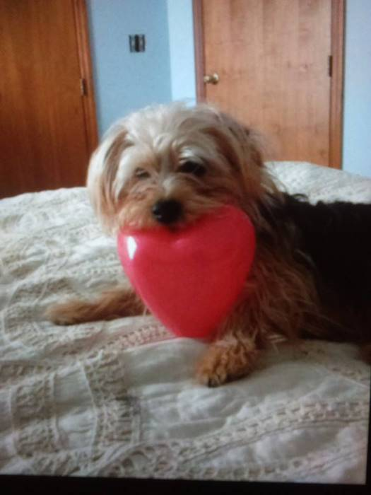 Yorkie with heart on his mouth