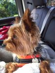 Yorkie in the car