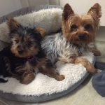 Yorkies on their bed