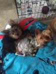 Tri color Yorkies