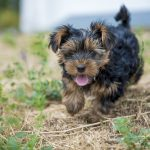 How and Where to Find a FREE Yorkie and Teacup Yorkie
