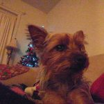 yorkie-photos