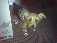 Yorkie wearing sneakers