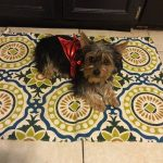 Yorkie cooling off on tile floor