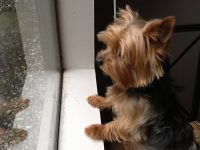 Yorkie Beautiful Photos