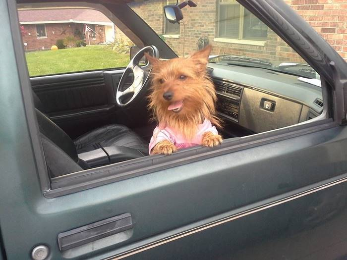 Yorkie on the car window