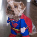 Can a Yorkie be a working dog?