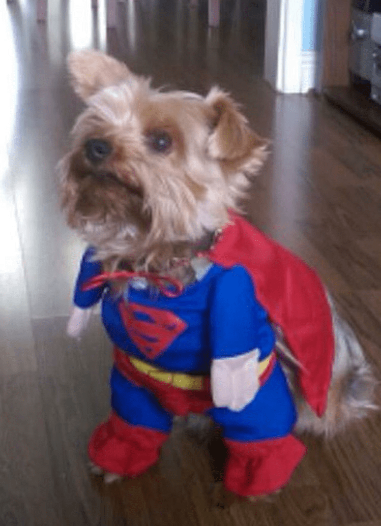 Yorkie with superman costume