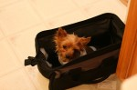 flying with your yorkie