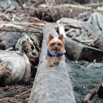 Yorkshire Terrier Picture Resources