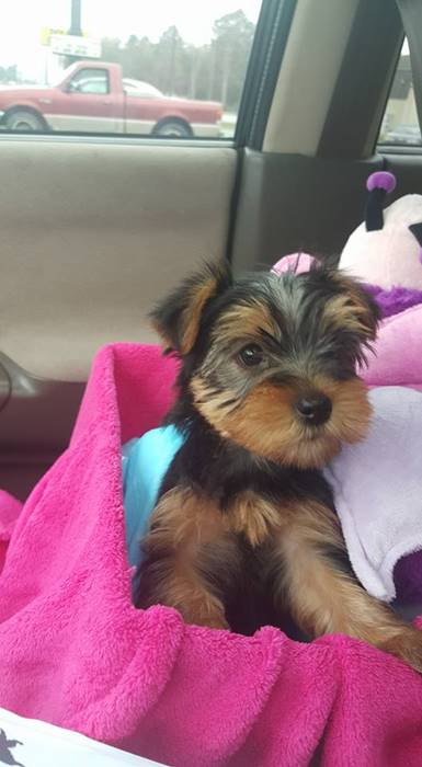 5 week old Yorkie