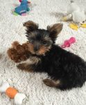 Yorkie photo submitted by Sheila