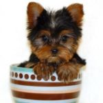 What makes a Yorkshire Terrier a Teacup Yorkie
