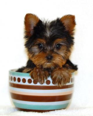 What Makes A Yorkshire Terrier A Teacup Yorkie Yorkiepassioncom