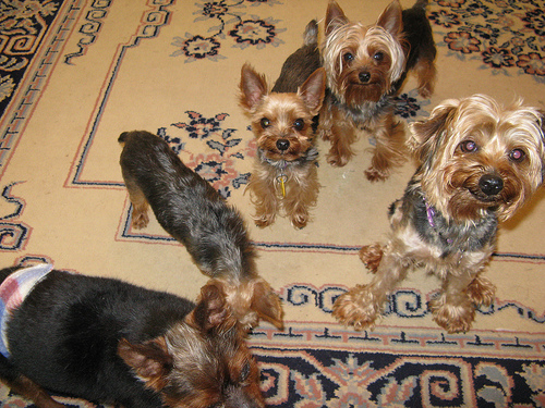 How Will Teacup Yorkies Get
