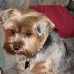Best Ways to Trim a Yorkshire Terrier's Face