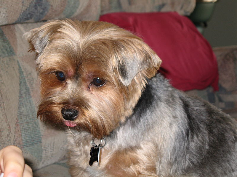 yorkie face trim best ways to trim a yorkshire terrier s face 3678