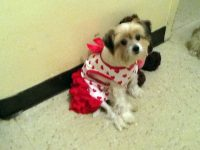 Yorkie with a costume