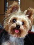 yorkie cost factores