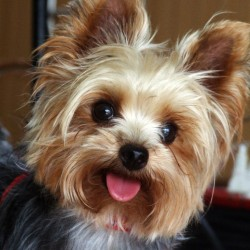 How much does a Yorkie and Teacup Yorkies Cost?