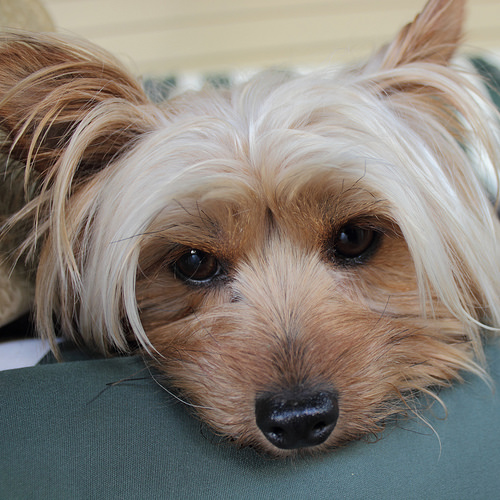 yorkie hypoglicemia symptoms