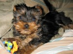 yorkie puppy basic care