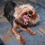 Indicators of Respiratory Problems in Yorkies