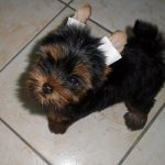 6 Tips to consider about having Yorkshire Terrier as Pet
