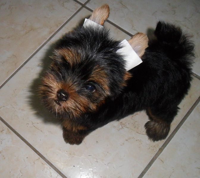 Yorkshire Terriers puppy
