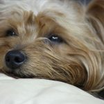 Causes of Seizures in Yorkshire Terriers