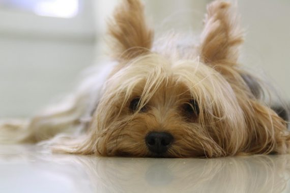 yorkie urinary infection