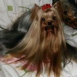 how to use clippers on a yorkie