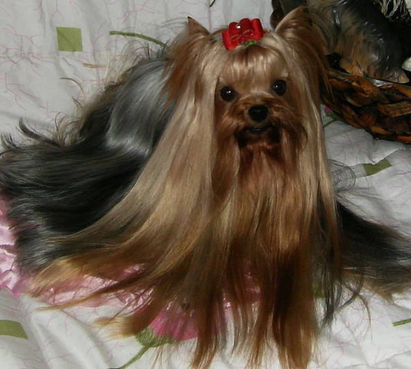 What does a yorkie look like  Yorkiemag