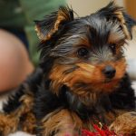 Nutrition and Diet for Your Yorkie Puppy