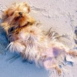 Yorkshire Terrier Pregnancy Symptoms