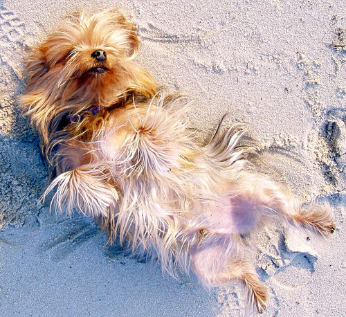Signs That Your Yorkie Is Ready To Breed