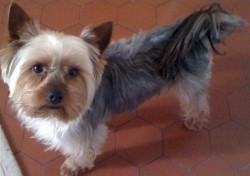 Yorkshire Terrier to Breed