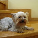 Possible Skin Conditions in Yorkshire Terriers
