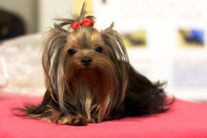 Newborn Yorkshire Terrier