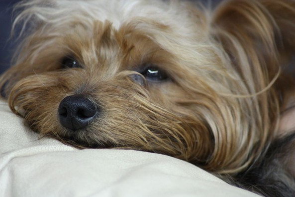 Signs That Your Yorkshire Terrier Is Pregnant