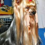 Ways to Make Yorkshire Terrier's Hair Shiny