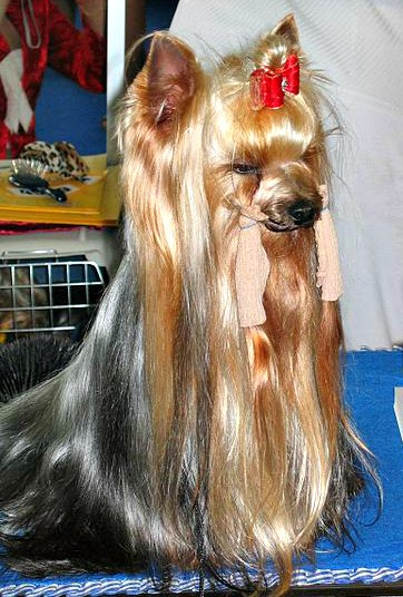 Ways To Make Yorkshire Terriers Hair Shiny