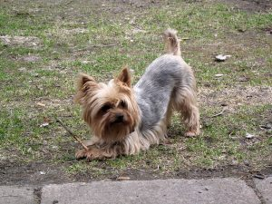 Yorkshire Terrier Tail