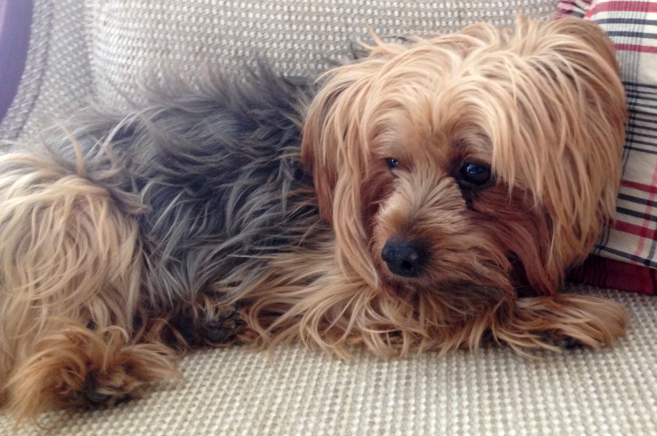 Your Yorkie May Be Causing You Allegies